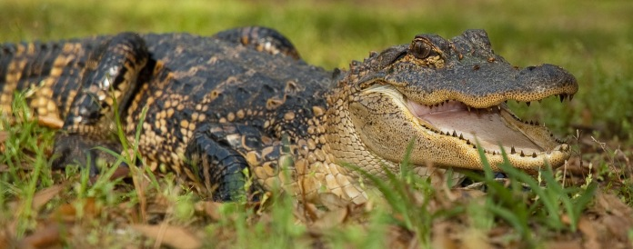 An American Alligator (Alligator mississippiensis) open its jaws in a threat display near Gainesville, Florida.